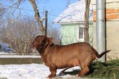 Meu cão pequeno perto da casa Imagens de Stock Royalty Free