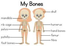 Meu diagrama dos ossos com duas crianças ilustração stock