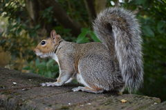 Meu esquilo que procura o alimento e que levanta para a câmera Imagens de Stock Royalty Free