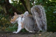 Meu esquilo que procura o alimento e que levanta para a câmera Fotografia de Stock