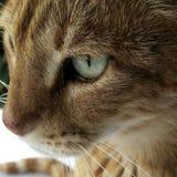 Meu gato bonito com olhos verdes foto de stock