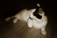 Meu gato bonito que senta-se no balcão na noite Fotos de Stock