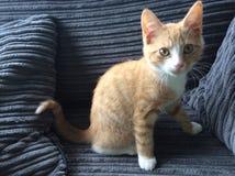 Meu gato como o gatinho Imagem de Stock Royalty Free
