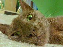 Meu gato do korat com os olhos verdes bonitos imagens de stock