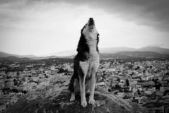 meu lobo fotografia de stock royalty free