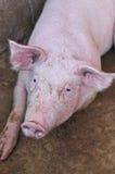 Meu porco Fotografia de Stock Royalty Free