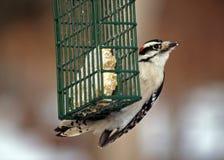 Meu Woodpecker Downy favorito Foto de Stock Royalty Free