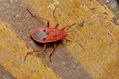 Meuchelmörder Bug Stockfotografie