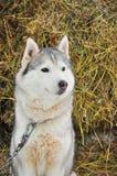 Meules de foin proches enrouées de Grey Siberian en hiver Photographie stock libre de droits