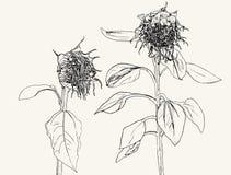 Meurent le tournesol Ensemble de vecteur de tournesols et de feuilles tirés par la main, Images stock