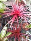 Meus abacaxis da cor Fotografia de Stock