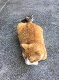 Meus gatos Fotografia de Stock
