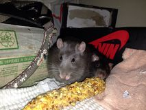 Meus ratos do animal de estimação Foto de Stock