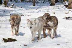 Meute de loups de bois de construction dans la forêt d'hiver Photographie stock