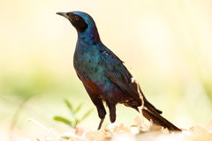 Meve's Longtailed Starling - Okavango Delta - Moremi N.P. Royalty Free Stock Photography