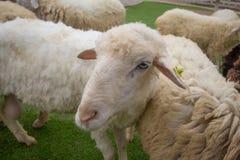 Mevr. Sheep stock foto
