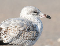 Mew Gull Stock Images