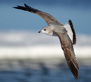 Mew gull Royalty Free Stock Photos