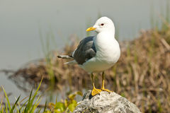 Mew Gull Royalty Free Stock Photo