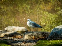 Mew Gull. A common mew gull sits beside a pond on a crisp, sunny autumn day and cocks its head to pose for the camera Stock Images