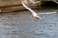 Mew gull in flight Royalty Free Stock Photos
