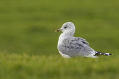 Mew gull Stock Photography