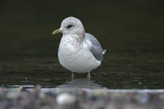Mew Gull (Larus canus) Royalty Free Stock Photos
