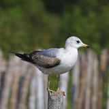 Mew Gull Stock Photo