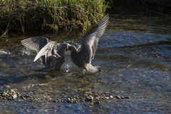 Mew Gulls (larus canus) Fighting. Two mew gulls (larus canus) fight over a spawned salmon at the Harrison River, BC, Canada royalty free stock image