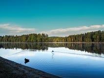 Mew Lake Ontario Algonquin Provincial Park. Mew Lake Algonquin Provincial Park Ducks Swimming At Sunrisen Royalty Free Stock Image