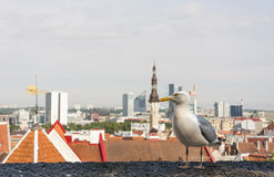 Mew and a Tallinn city panorama Stock Photos