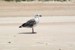 mewa na plaży Obrazy Royalty Free