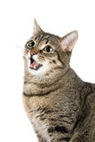 Mewing cat Stock Photography