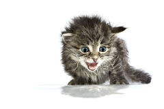 Mewing Cute helpless two-weeks old kitten Royalty Free Stock Images