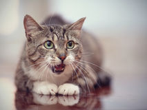 The mewing gray striped cat with green eyes. Stock Images