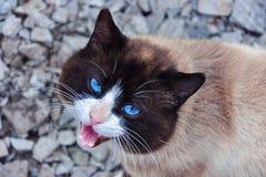 Mewing katt Arkivbild