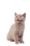Mewing little kitten Royalty Free Stock Photo