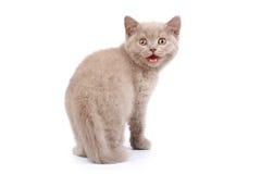 Mewing little kitten Royalty Free Stock Photos