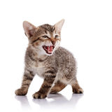 The mewing striped kitten. Striped not purebred kitten. Kitten on a white background. Small predator. Small cat stock image
