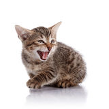 The mewing striped small kitten. Striped not purebred kitten. Kitten on a white background. Small predator. Small cat royalty free stock images