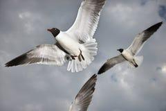 mewy lotów Zdjęcie Stock