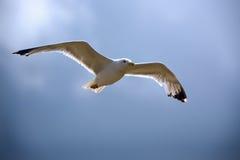 mewy lotów Obraz Royalty Free