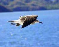mewy morza Fotografia Stock