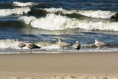 mewy plażowi morskie Zdjęcie Royalty Free