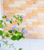Mexcican violet Royaltyfri Bild