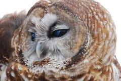 Mexicaans Bevlekt Owl Looks Left Royalty-vrije Stock Afbeelding