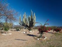 Mexicaans landschap met cactussen Stock Afbeeldingen