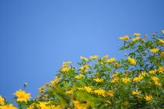 Mexicaans zonnebloemonkruid en blauwe hemel Royalty-vrije Stock Fotografie