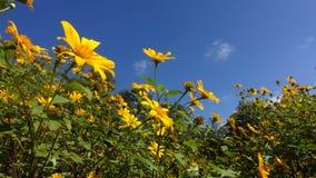 Mexicaans zonnebloemonkruid en blauwe hemelachtergrond stock video