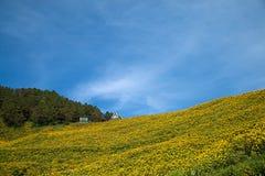 Mexicaans zonnebloemonkruid op de heuvel Royalty-vrije Stock Afbeeldingen